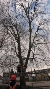 Orezivanje stabla